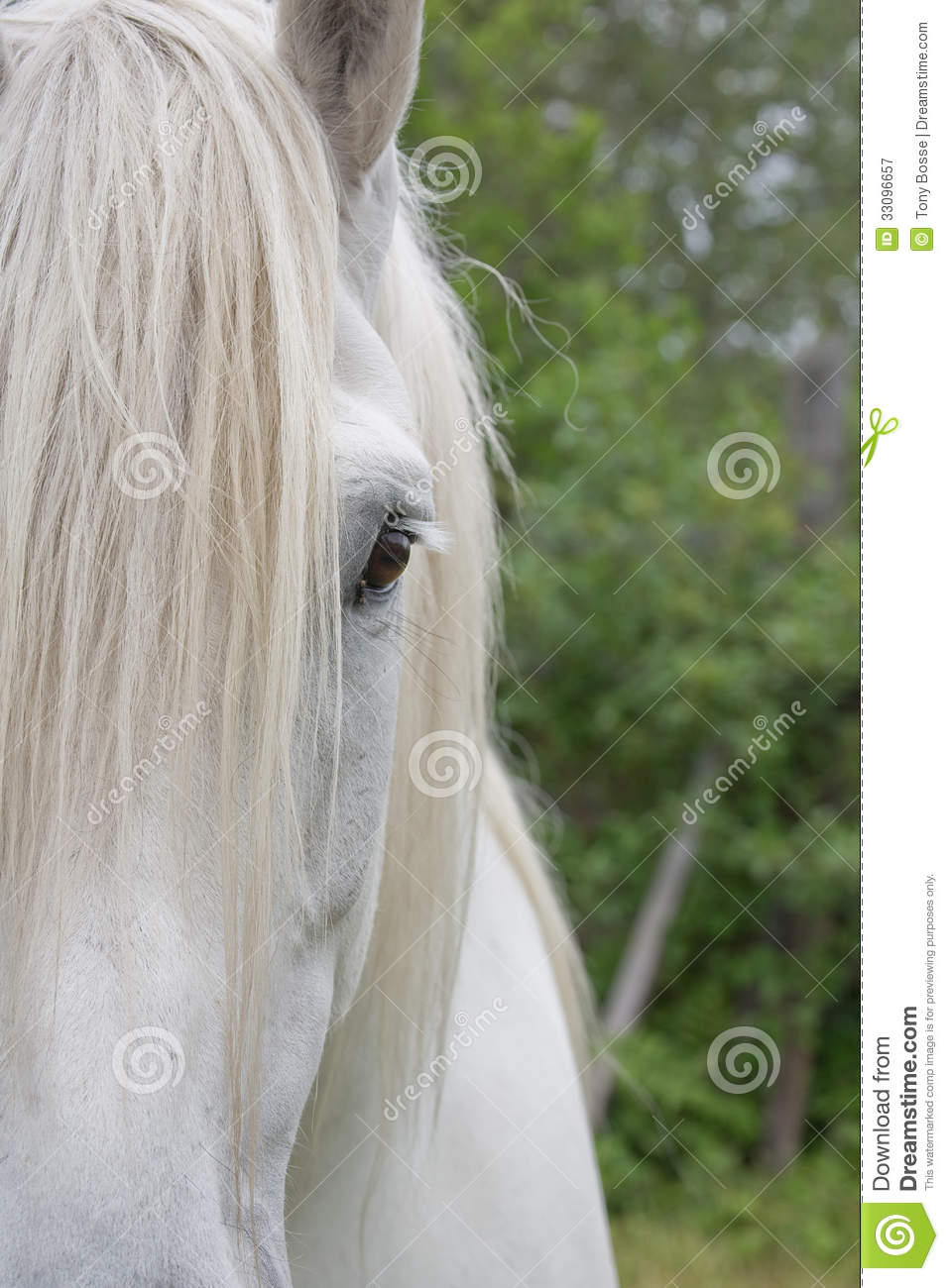 Percheron Draft Horse Half Face Stock Image Image Of Powerful Strong 33096657