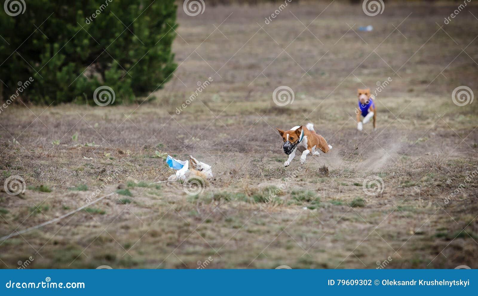 Percorrer Atração das capturas do cão de Basenji
