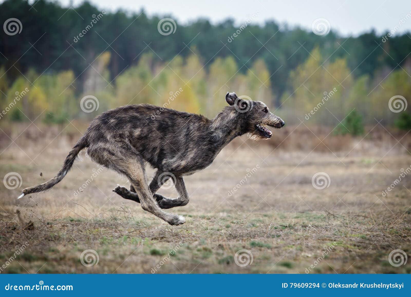 Percorrer Corridas do cão do cão caçador de lobos irlandês