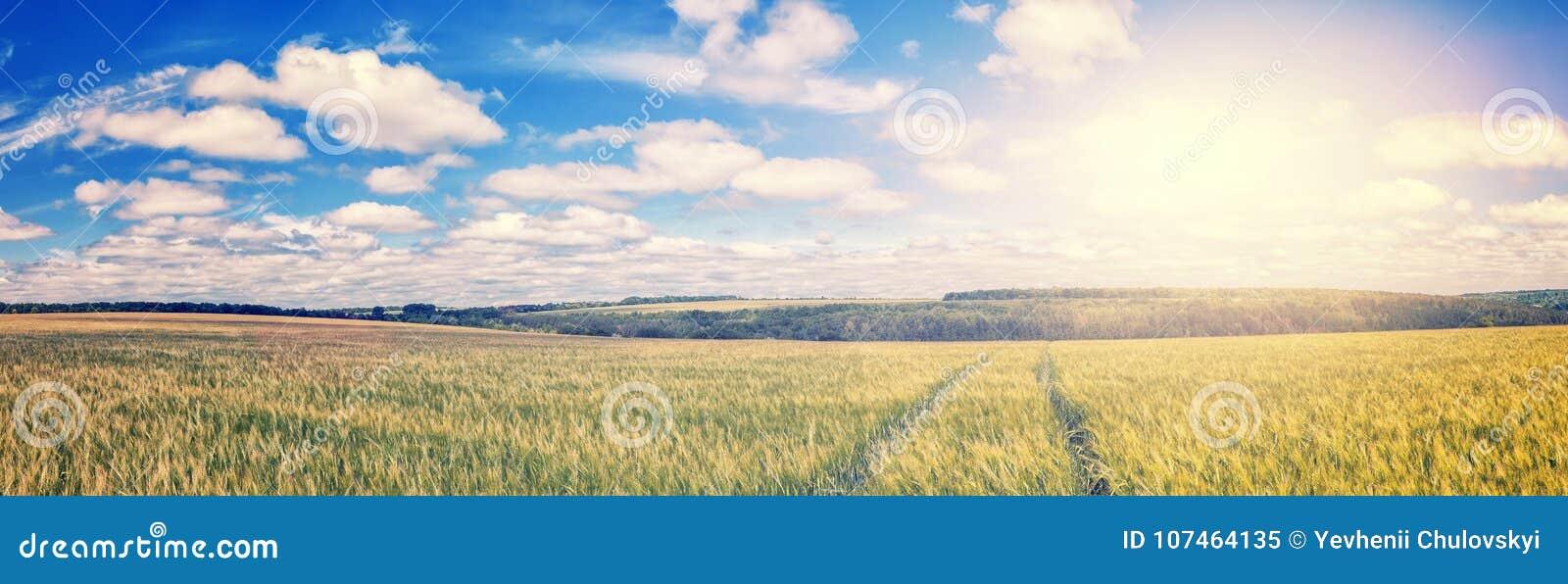 Percorso attraverso il giacimento di grano dorato, cielo blu perfetto paesaggio rurale maestoso