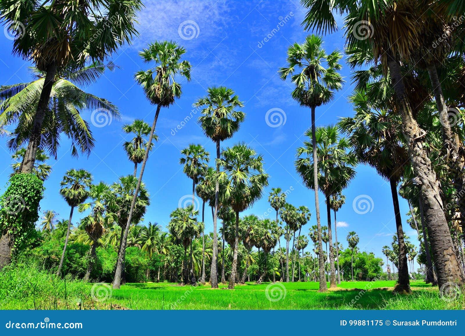 Percorso del giardino dell albero della palma da zucchero con soleggiato in Tailandia