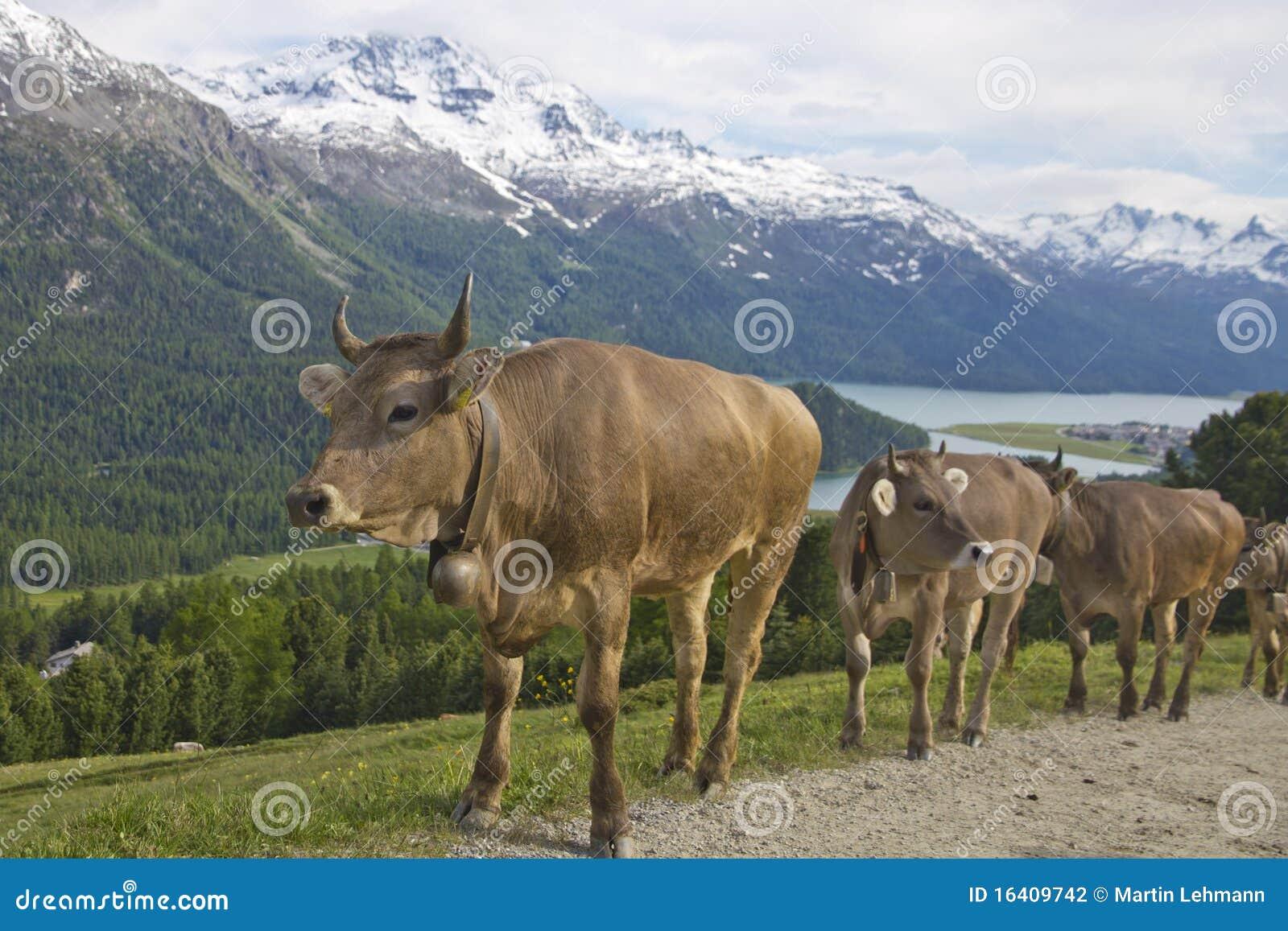 Percorso della montagna di trotto della mandria di mucche