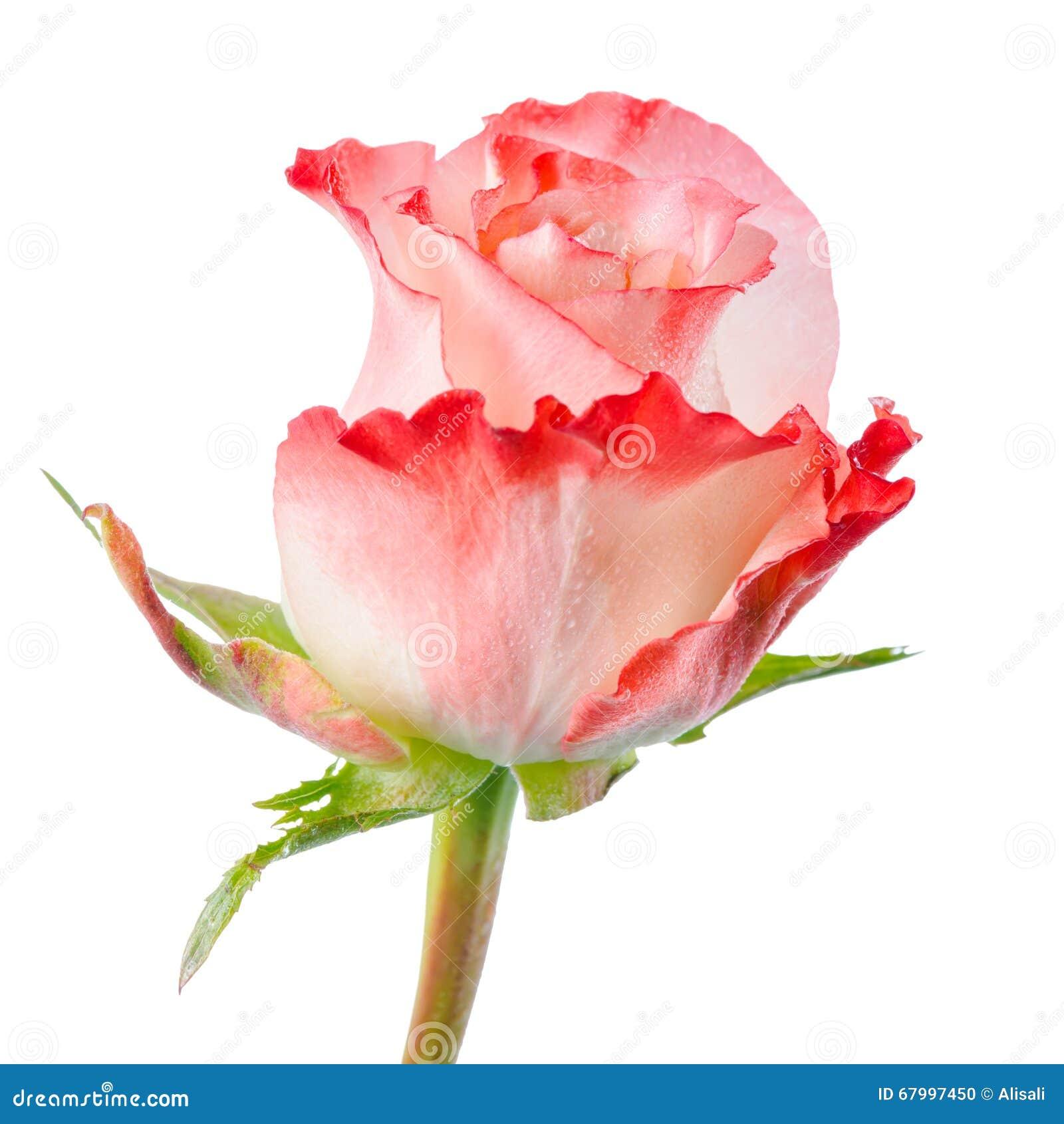 Perdez De La Belle Fleur Romantique Abstraite De Rose De Rose Avec