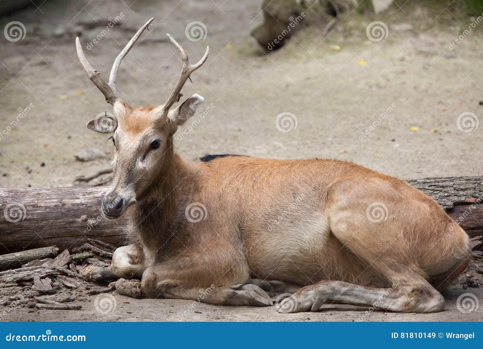 Pere David`s deer Elaphurus davidianus