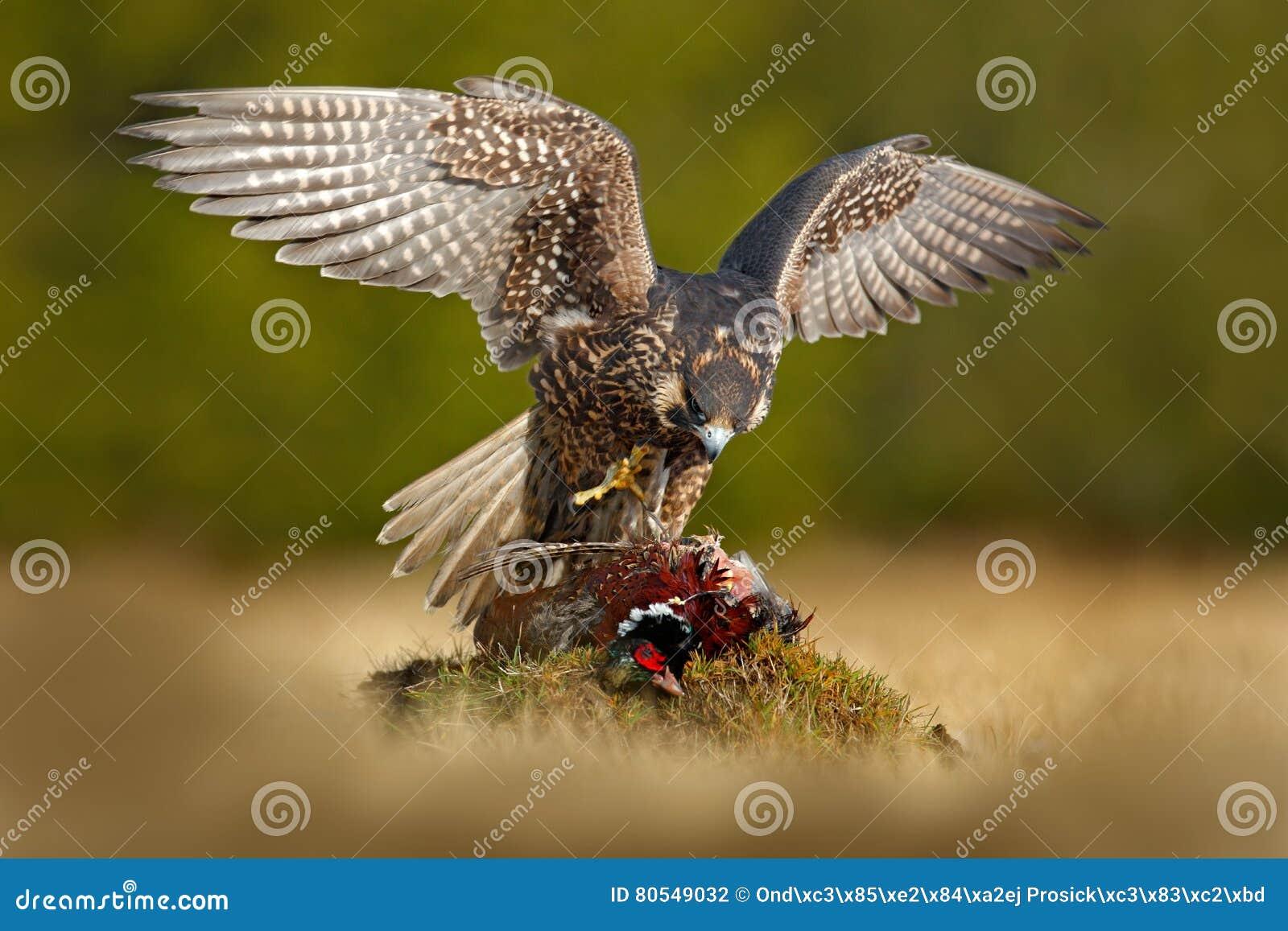 Peregrine falcon with catch Pheasant. Beautiful bird of prey Peregrine Falcon feeding kill big bird on the green moss rock.