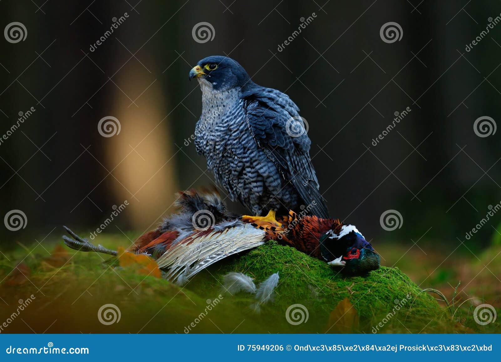 Peregrine falcon with catch Pheasant. Beautiful bird of prey Peregrine Falcon feeding kill big bird on the green moss rock with da