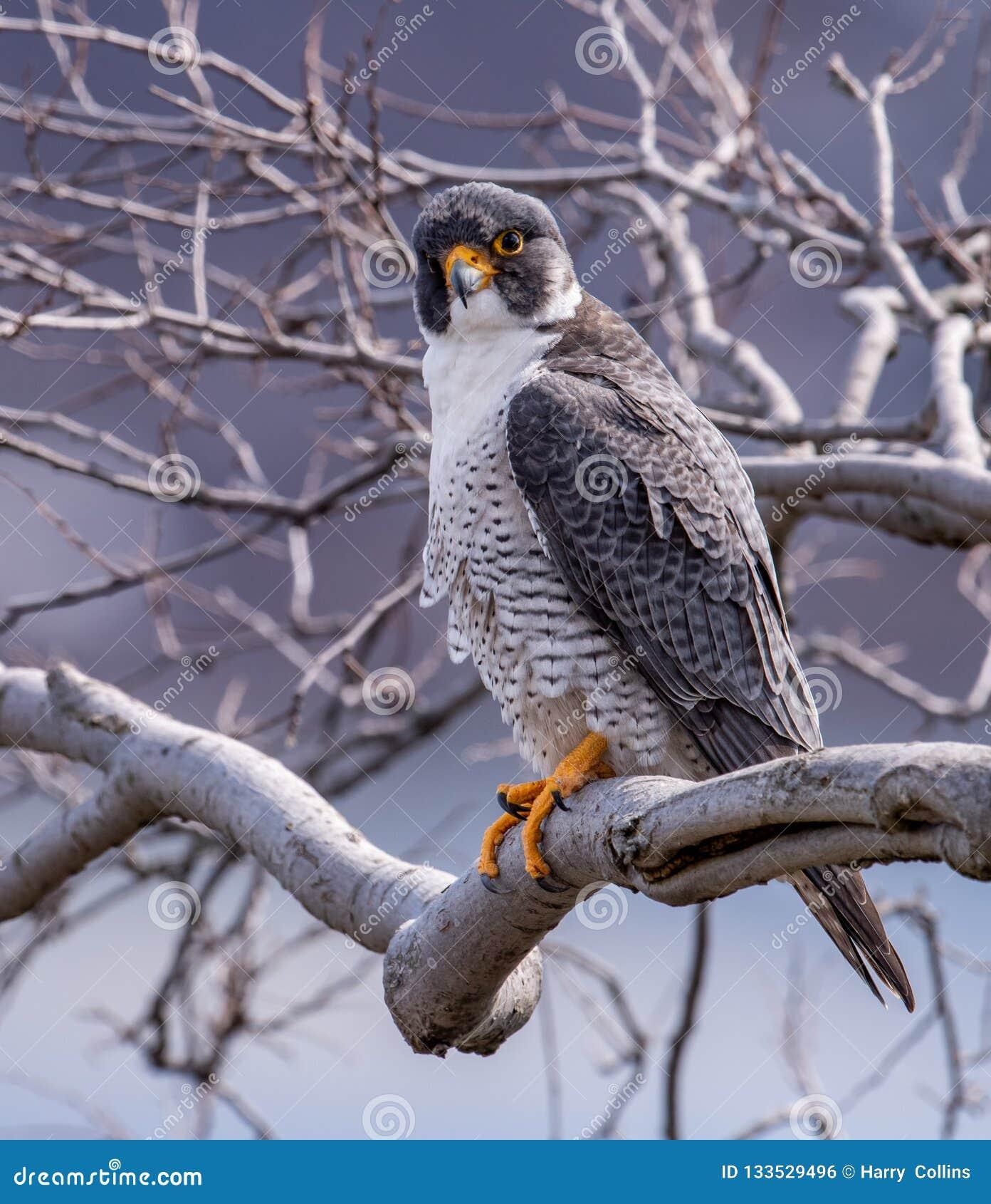Peregrine Falcon dans le New Jersey