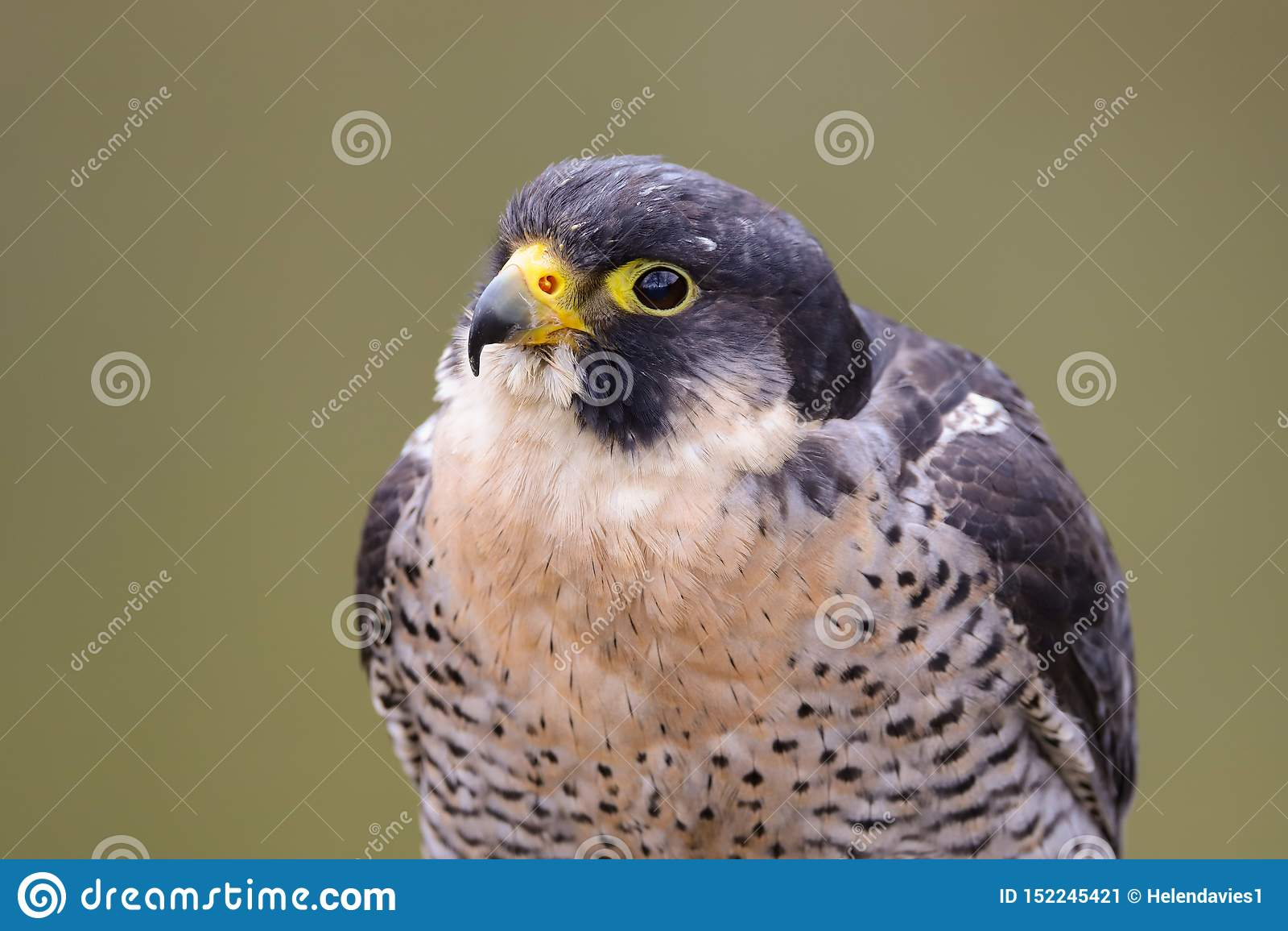 Peregrine Falcon Falco peregrinus bird of prey