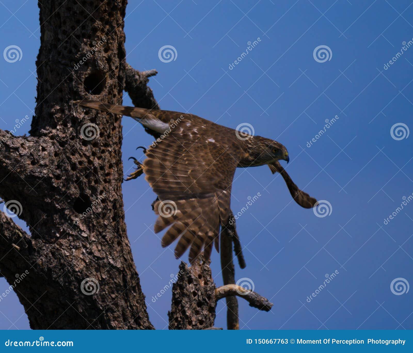 Peregrine Falcon Heading Off On ein Abenteuer