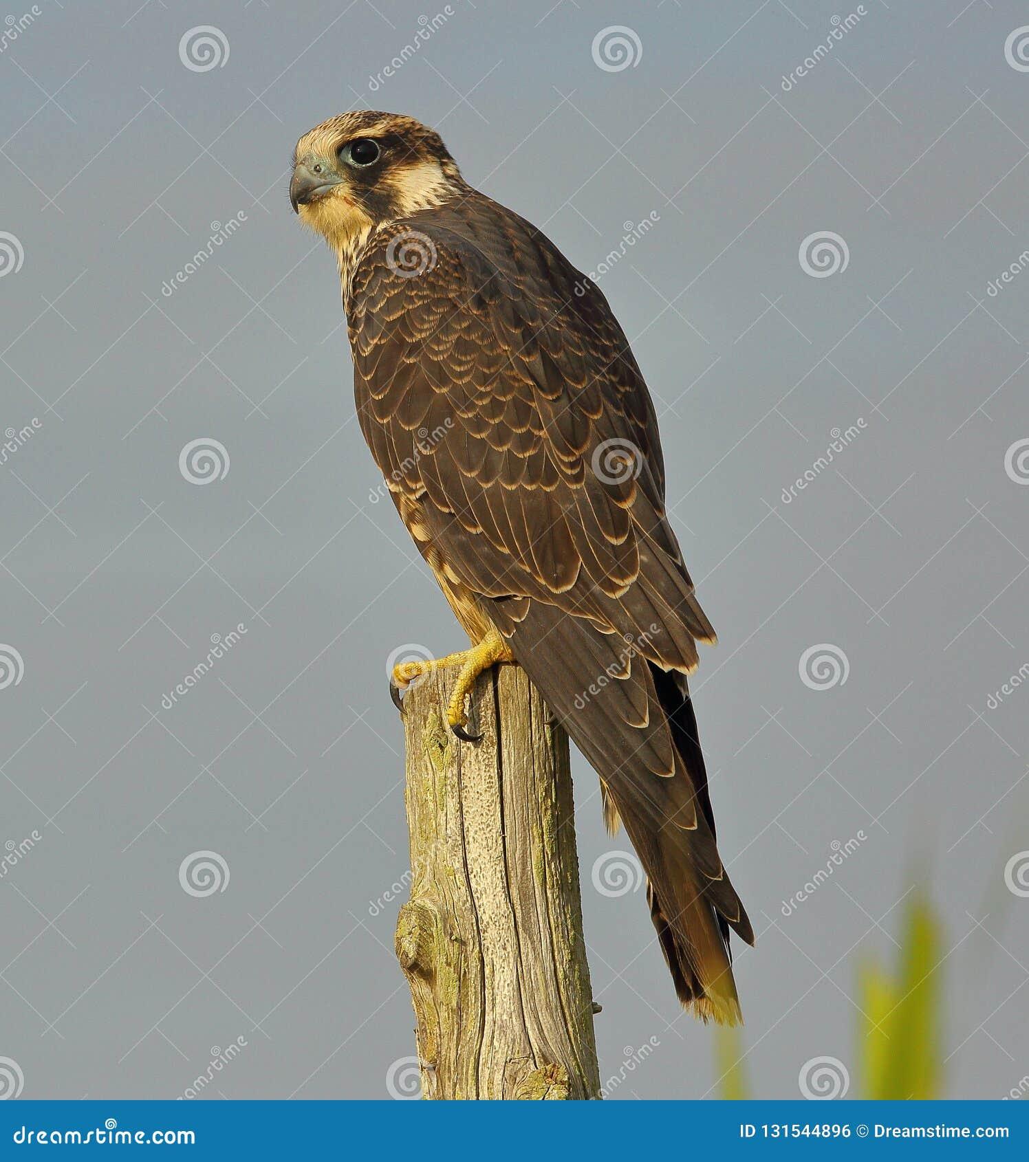 Peregrine Falcon op snuffelt rond