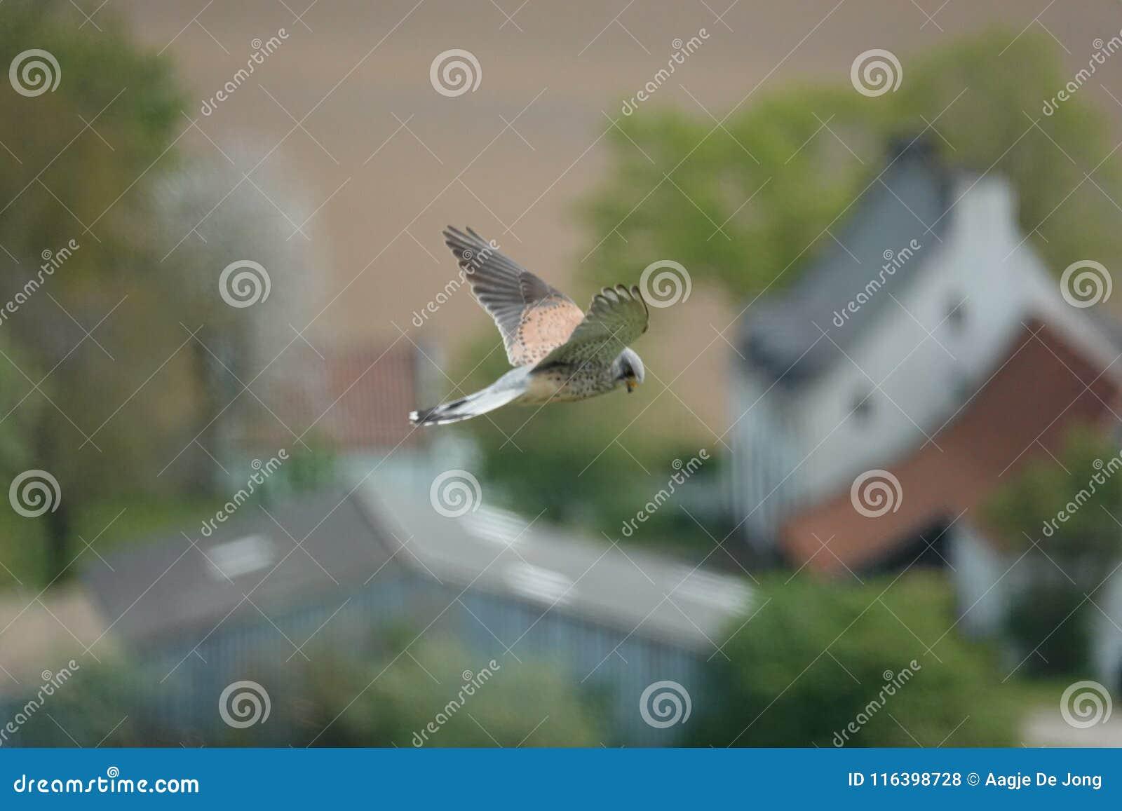 Peregrine falk som flyger den ovannämnda lantgården av Hougemont