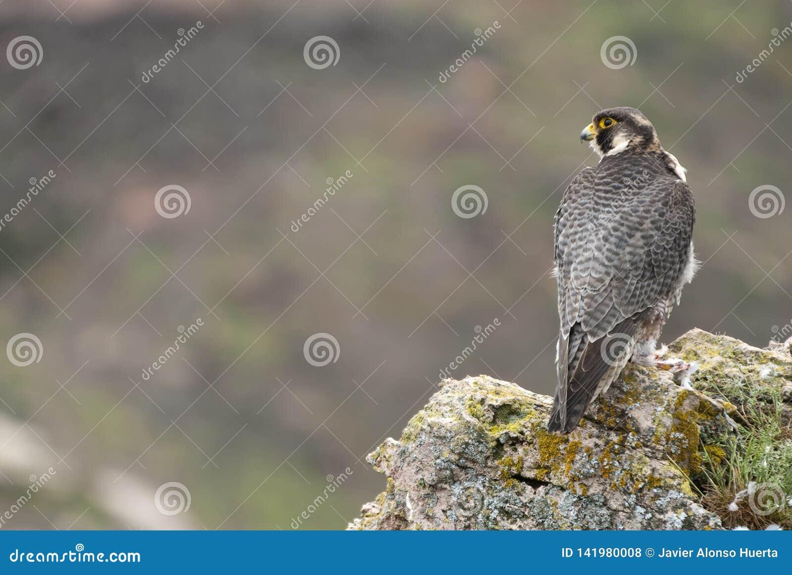 Peregrine valk op de rots Mannelijk portret, Falco-peregrinus