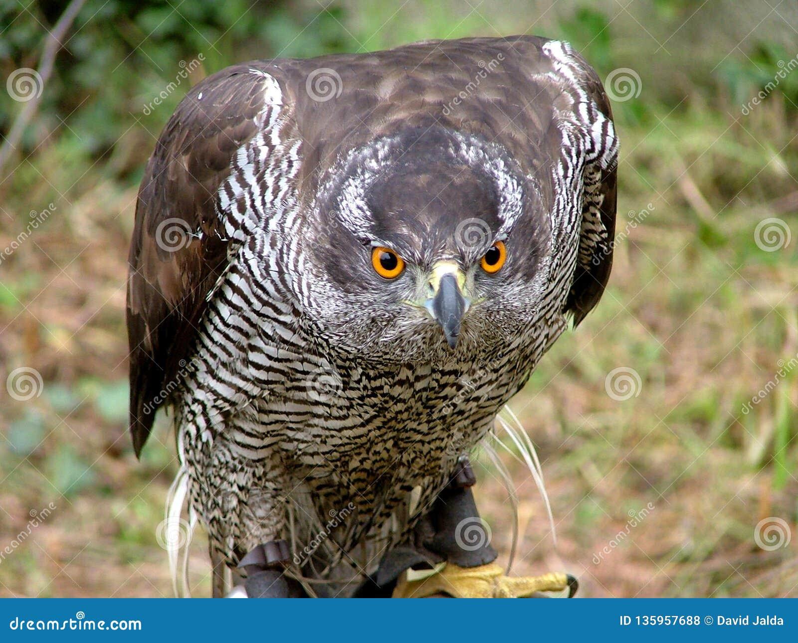 Peregrinus de falco de faucon regardant le plan rapproché, fauconnerie