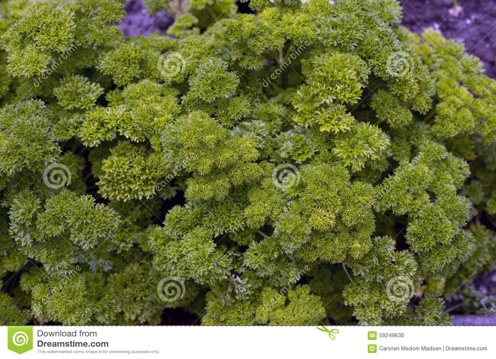 Perejil verde