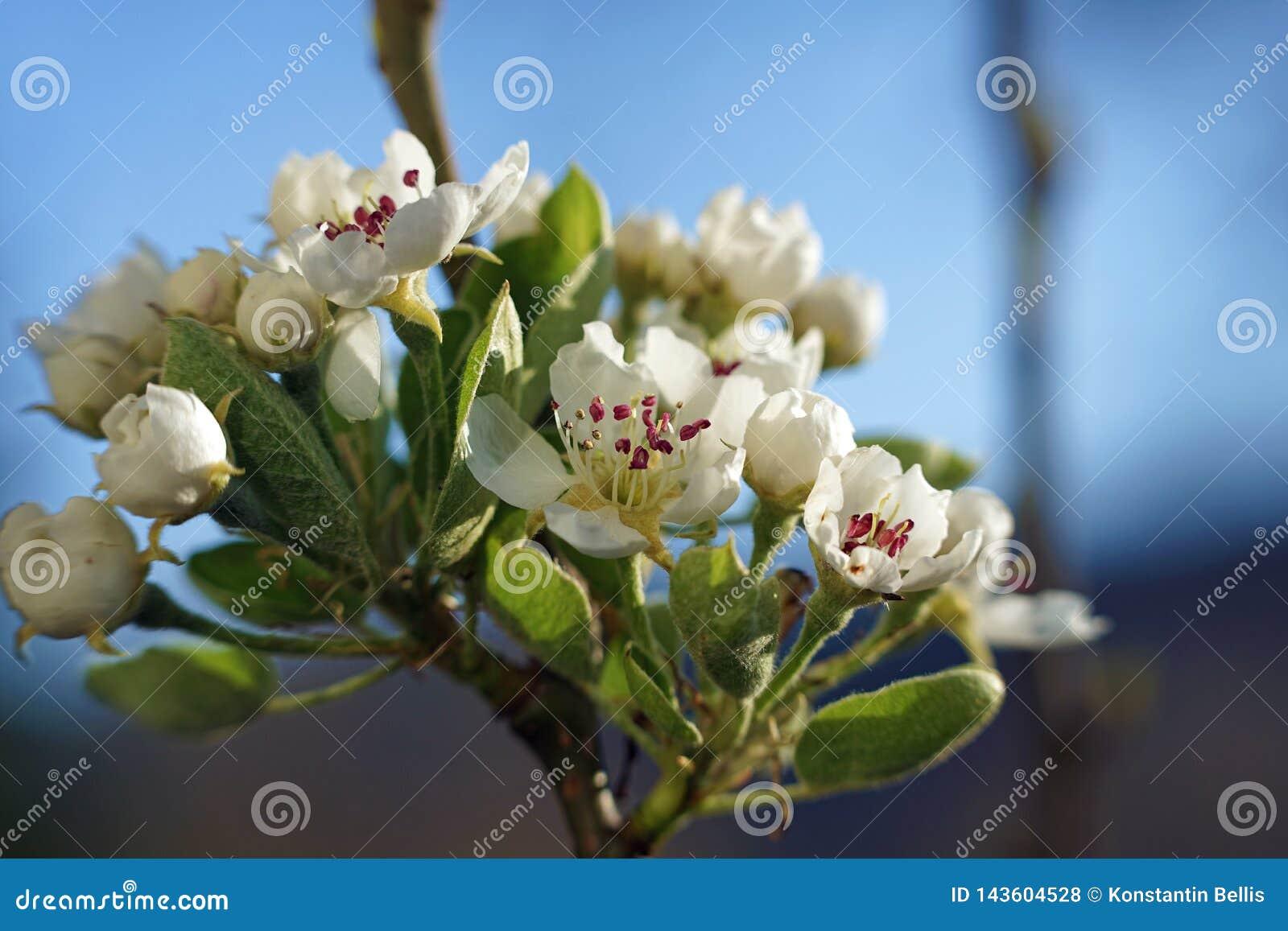 Perenboom in onze tuin