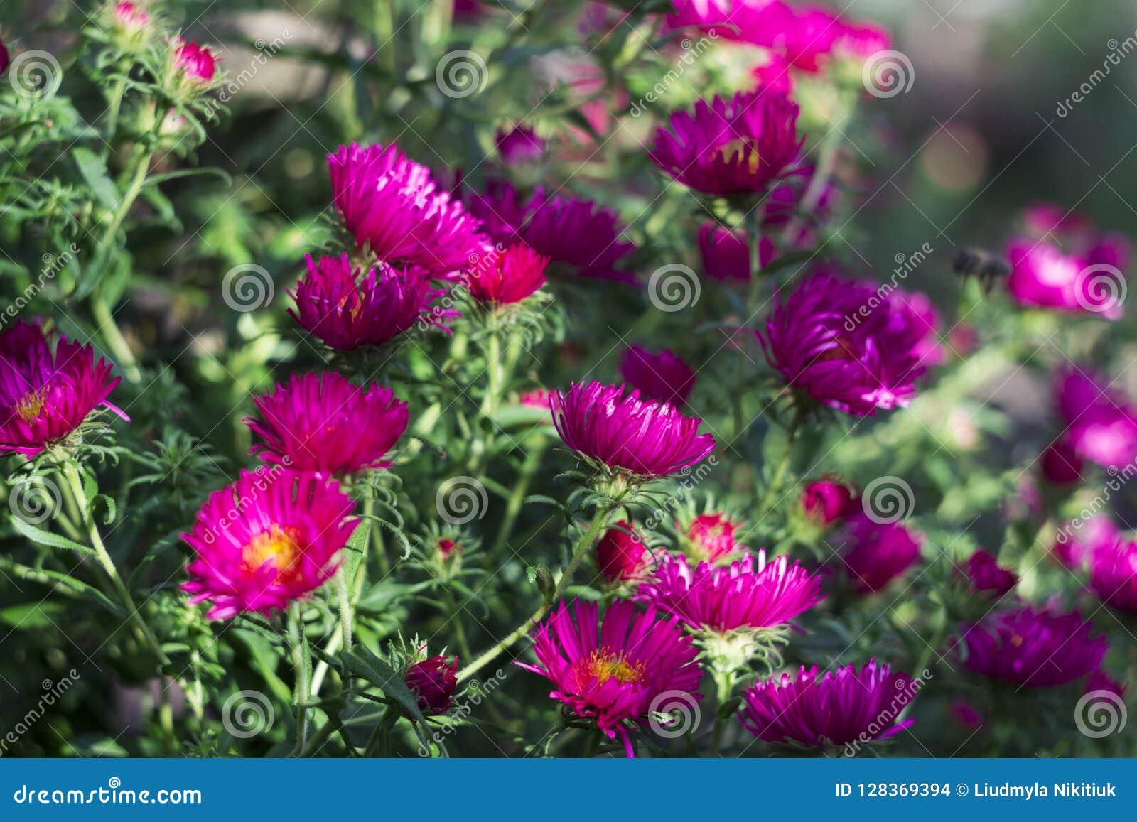 Perennial Aster Flowering Pink Autumn Flowers In The Garden Ba
