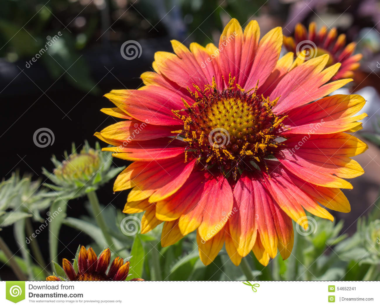 Perennial Blanket Flower Stock Image Image Of Isolated 54652241