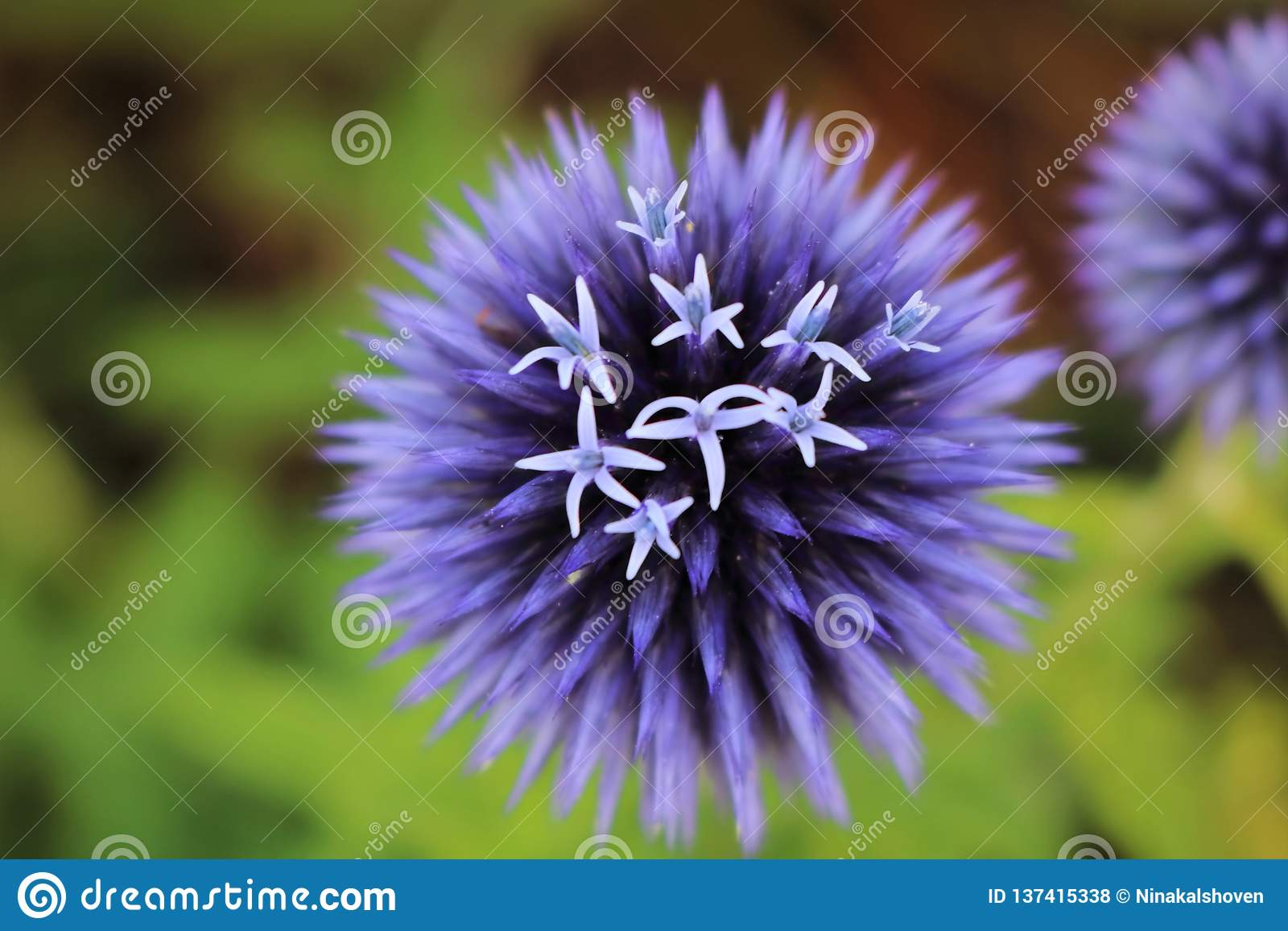 A Blooming Purple Perennial Flower Stock Photo Image Of Bloom