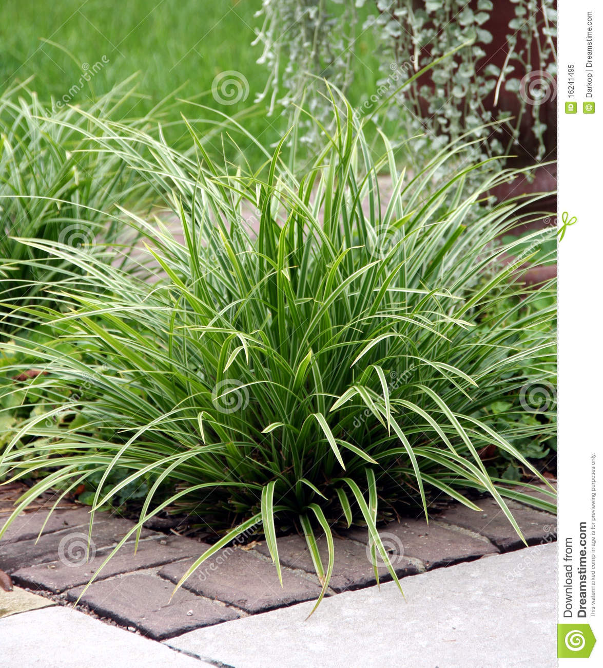 Perennial Grass Stock Image Image Of White Shrumb Perennial