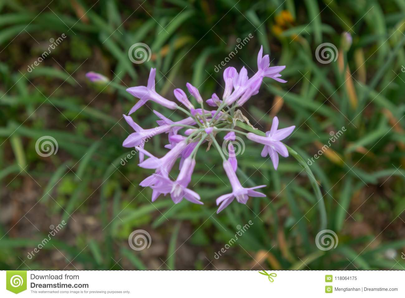 Tulbaghia Violacea Stock Image Image Of Bulbs Chinese 118064175