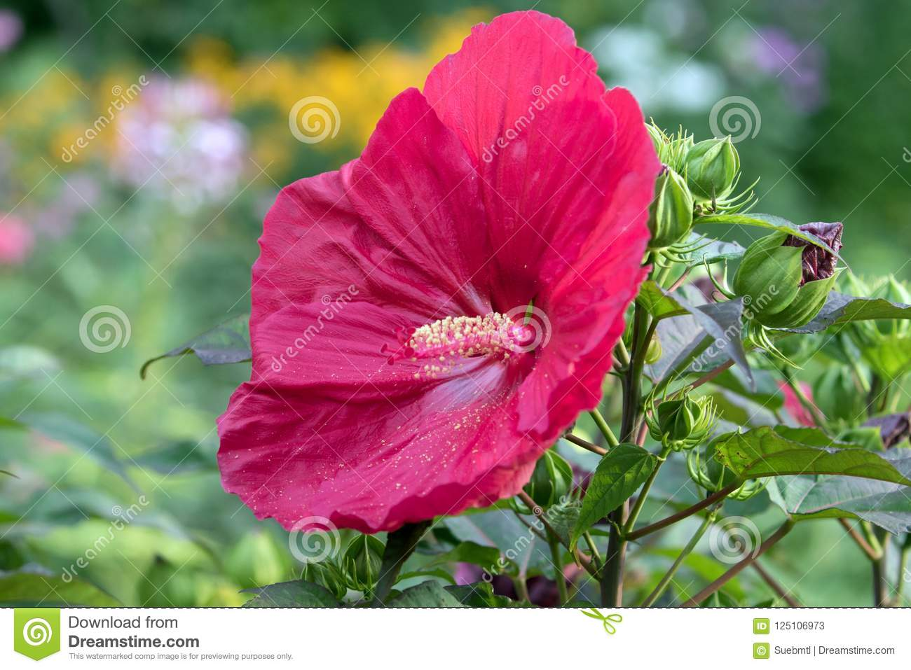 Perennial Hibiscus Shrub With Large Red Flower Stock Image Image