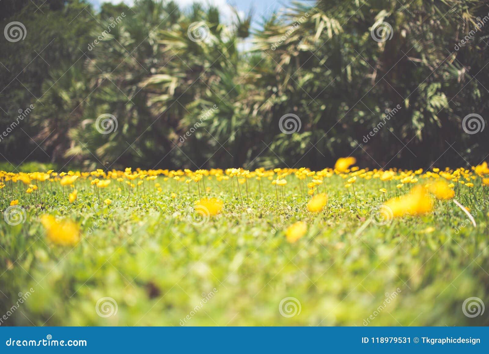 Perennial Peanut Also Yellow Arachis Pintoi Flower Stock Image