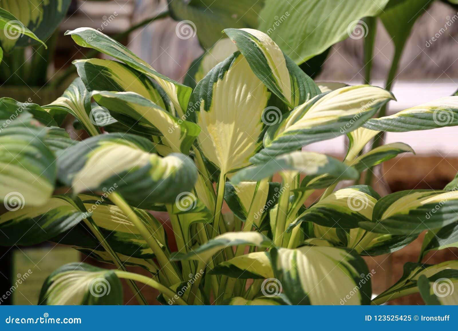 Perennial Plant Hosta Stock Image Image Of Background 123525425