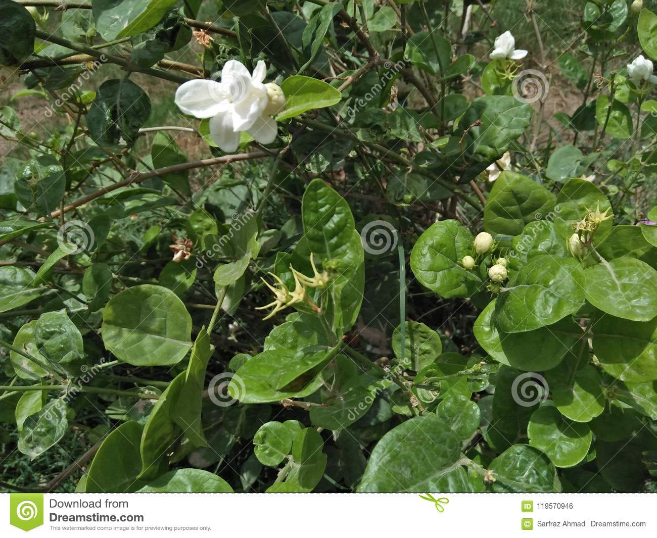 Jasmine Cultivation Stock Photo Image Of Cultivation 119570946