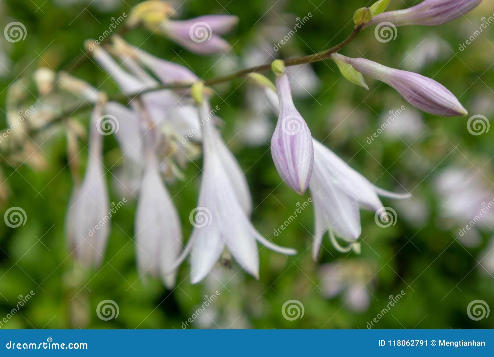 Flower of fragrant plantain lily hosta plantaginea lam aschers flower of fragrant plantain lily hosta plantaginea lam aschers izmirmasajfo