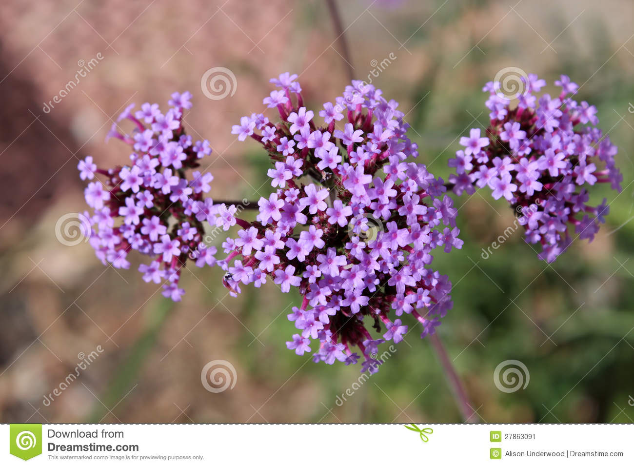 Perennial Verbena Bonariensis In Flower Stock Image Image Of