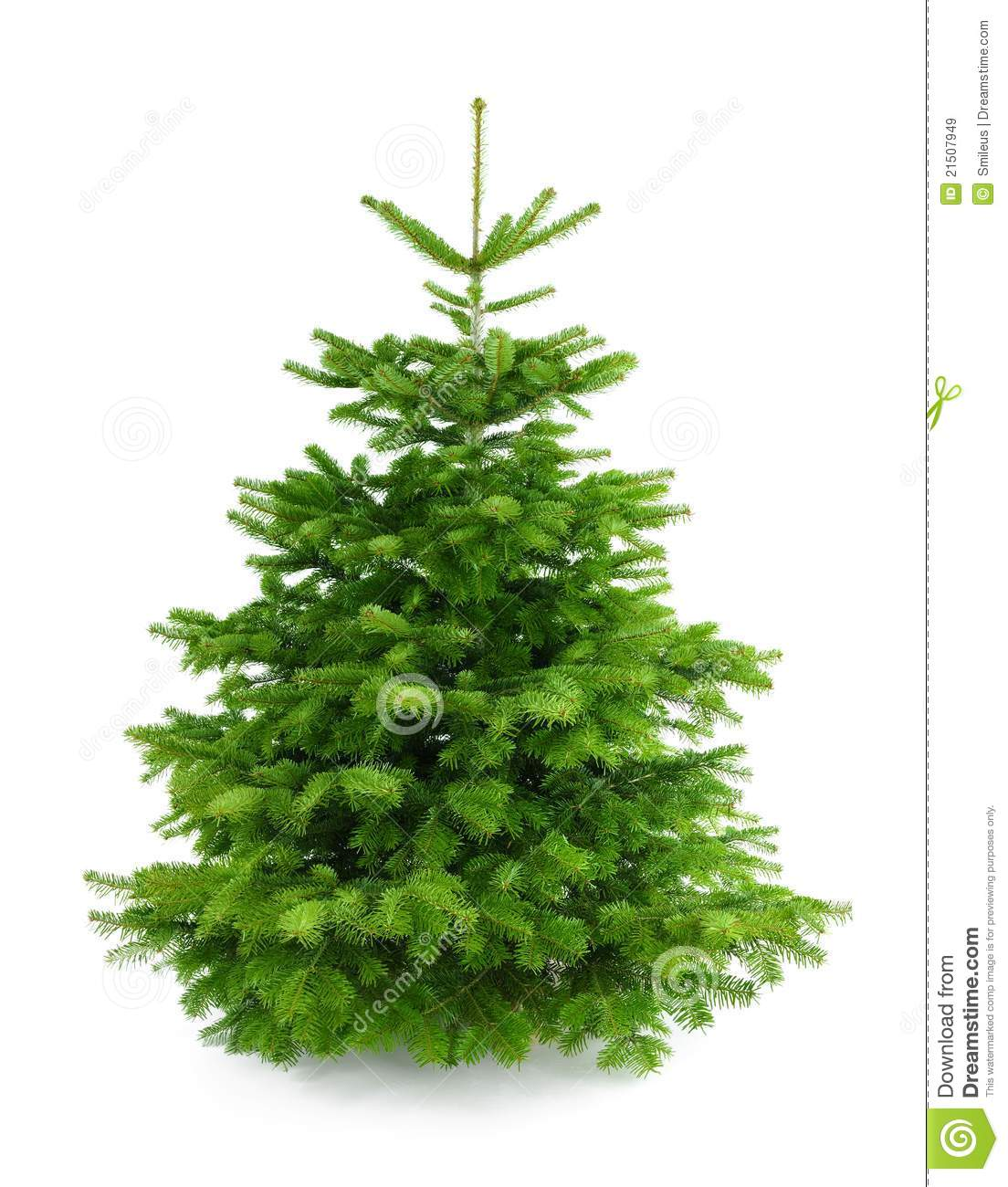 perfect fresh christmas tree without ornaments royalty