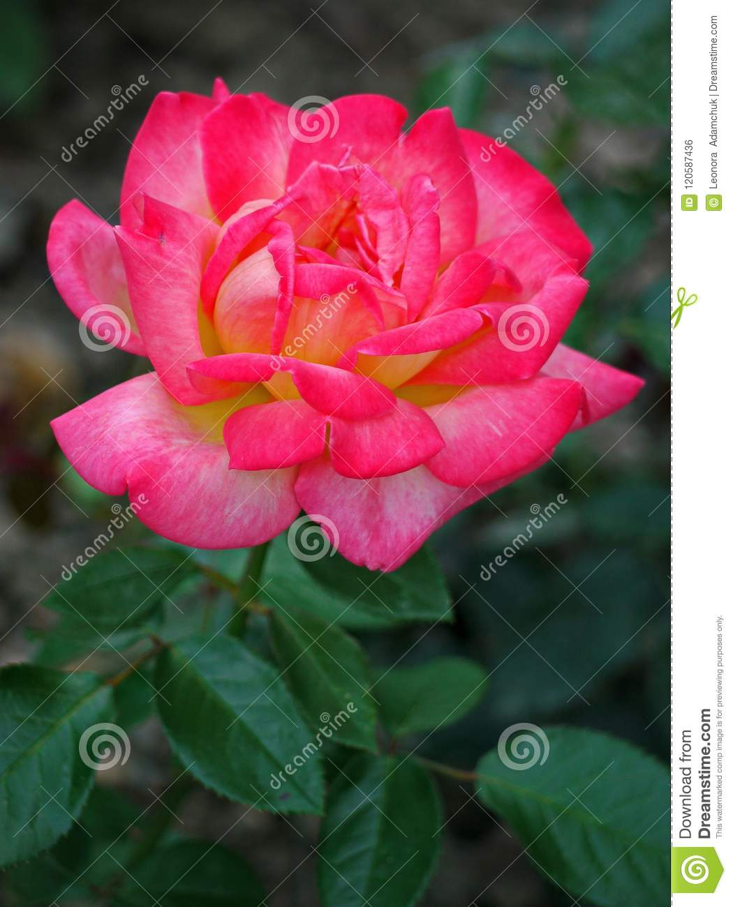 A perfect gift for women flowers in particular is a beautiful rose a perfect gift for women flowers in particular is a beautiful rose with delicate petals and izmirmasajfo