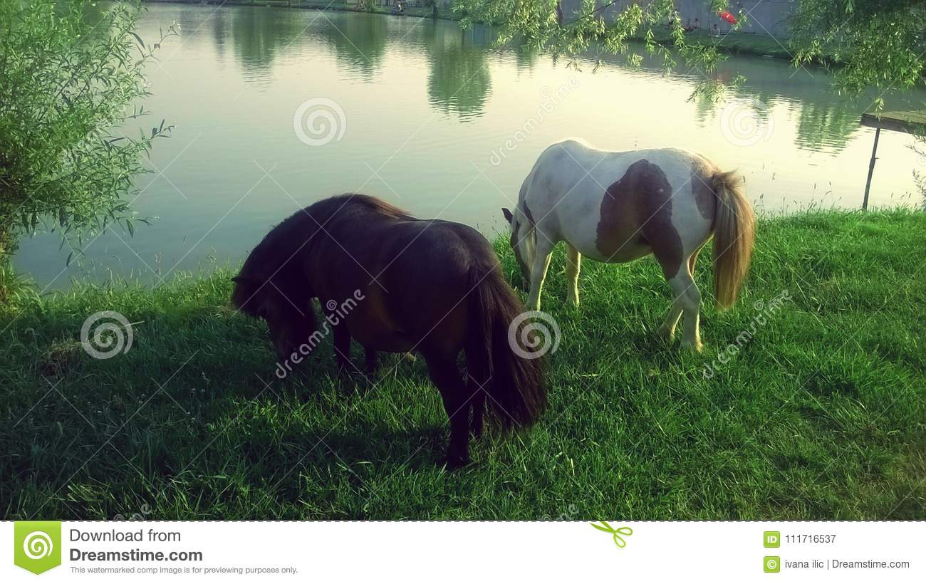 A foal pony on a loose summer day stock photo image of ponies.