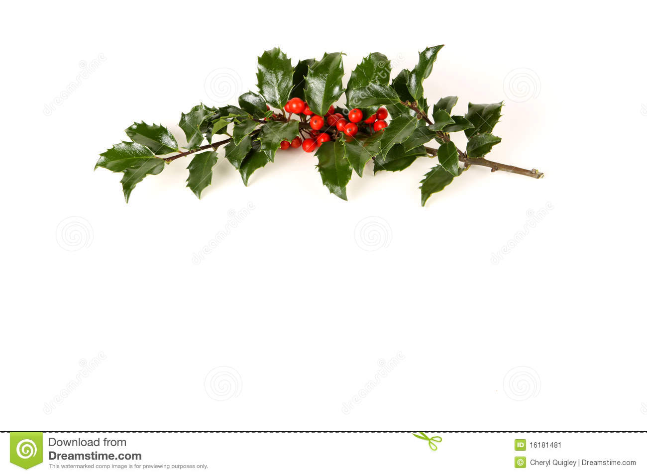 Perfect Sprig Of Holly Stock Image Image 16181481