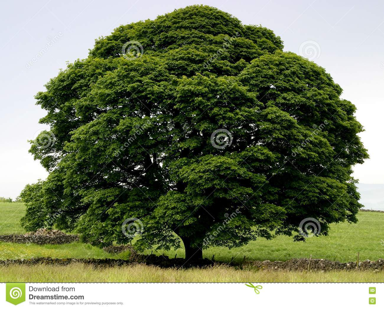 classically shaped tree in full leaf on a simple clutter free ...