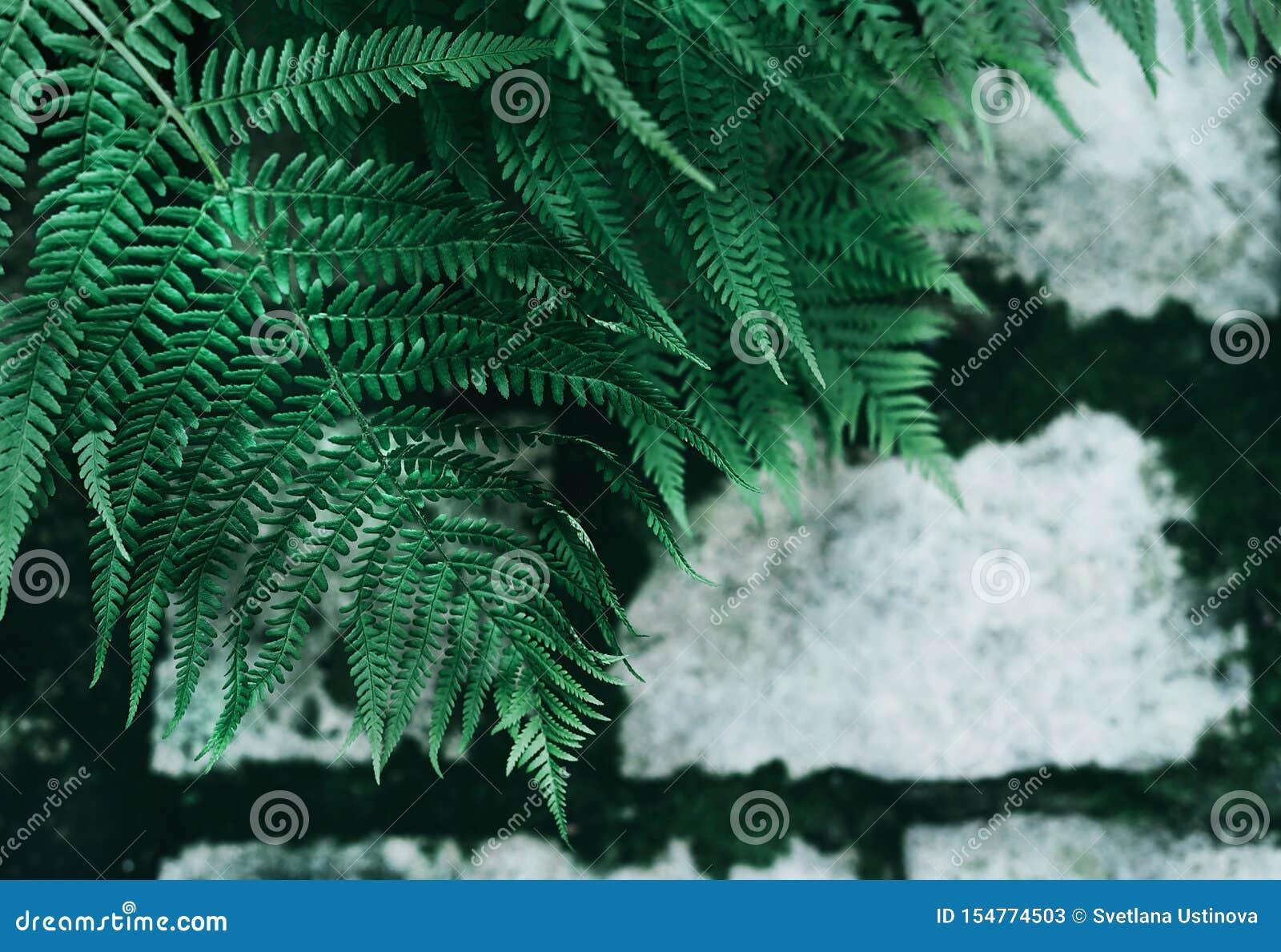 Perfecte natuurlijke jonge varenbladeren op achtergrond van oude grijze keibestrating met donkergroen mos in de naden Donker en H