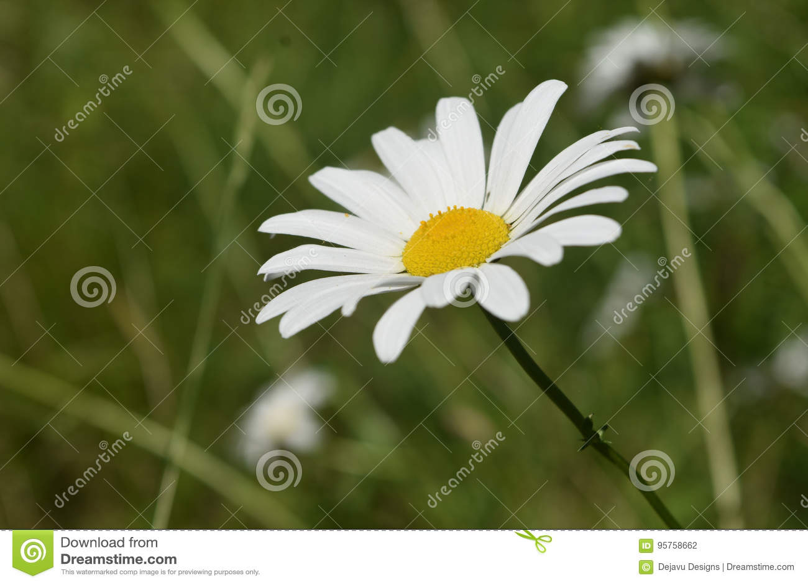 Perfecte Witte en Gele Daisy Flowering op een Gebied