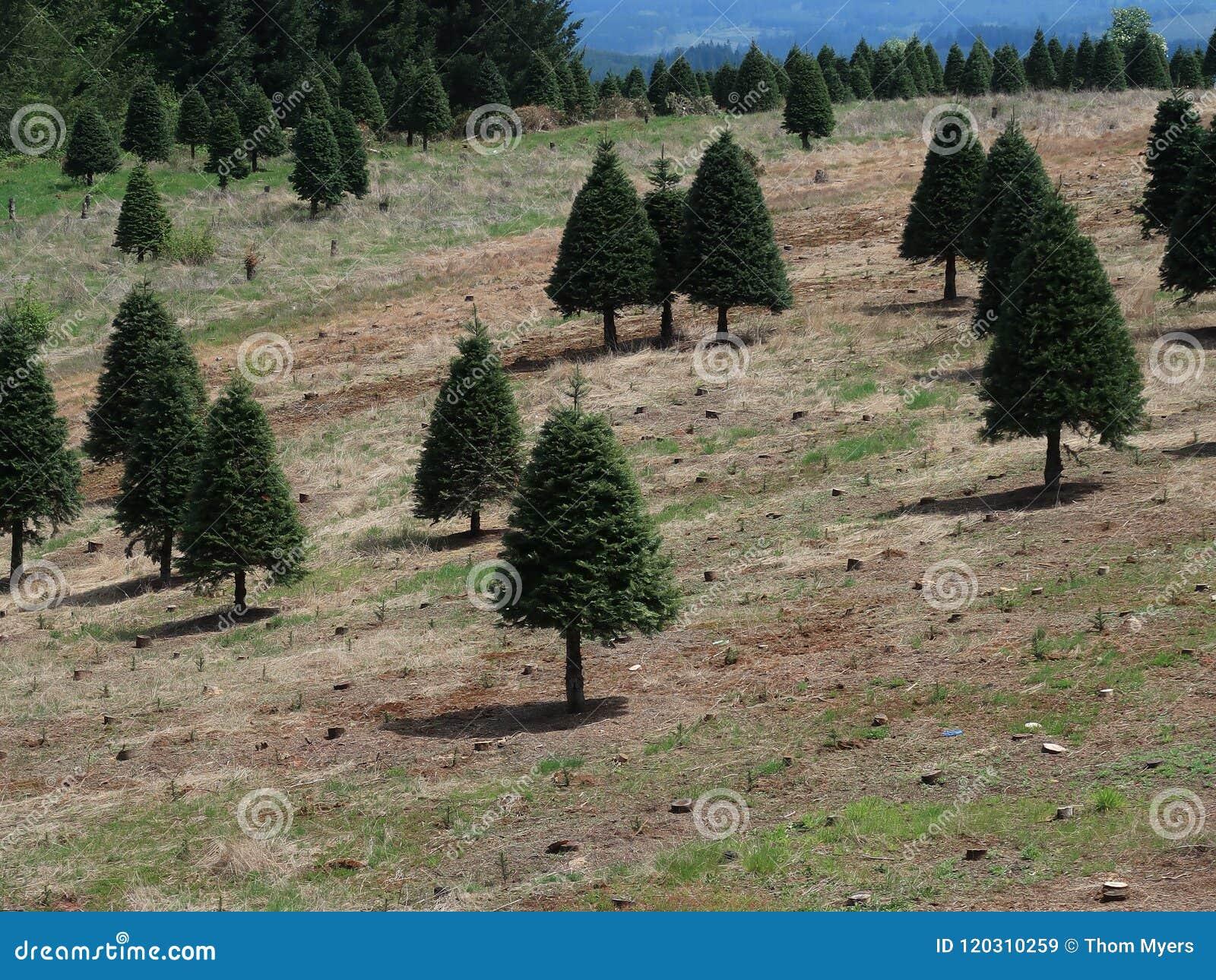 Growing Christmas Trees stock image. Image of western ...