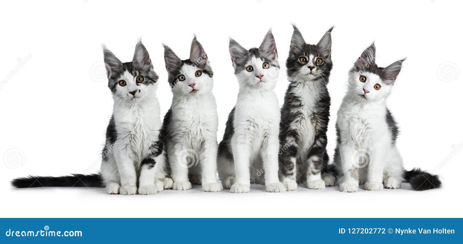 Perfekt rad av Maine Coon för strimmig katt för fem blått som/svartden höga vita katten isoleras på vit bakgrund