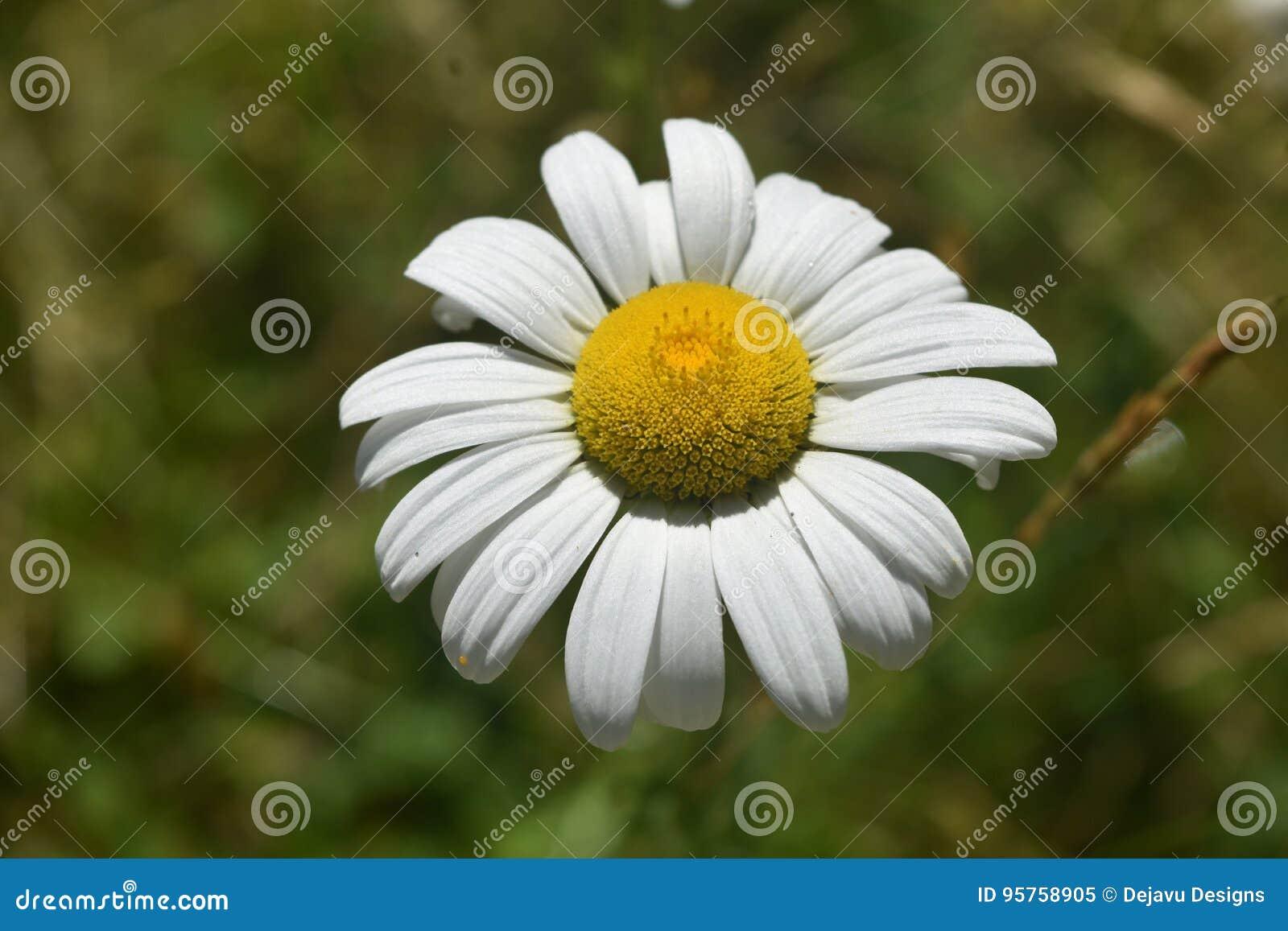 Perfekta gemensamma Daisy Flowering på en härlig dag