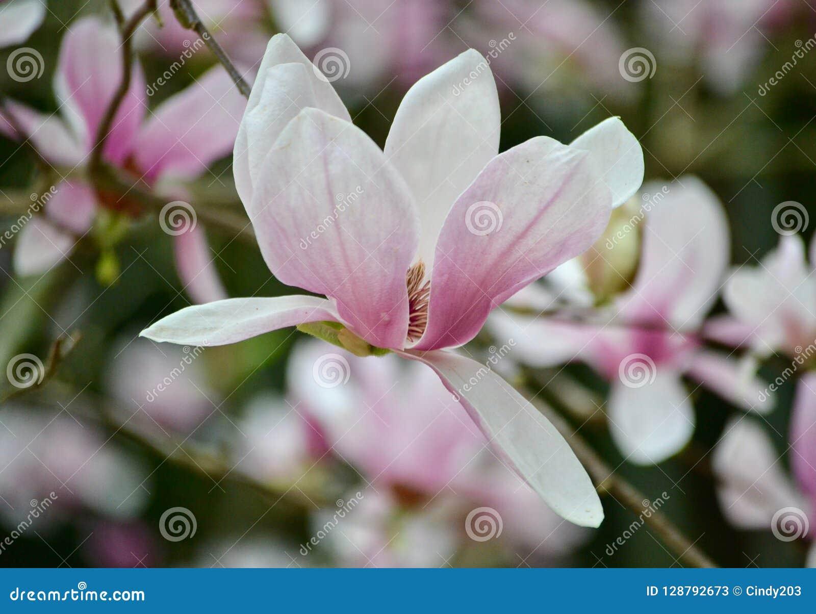 Perfezione della magnolia