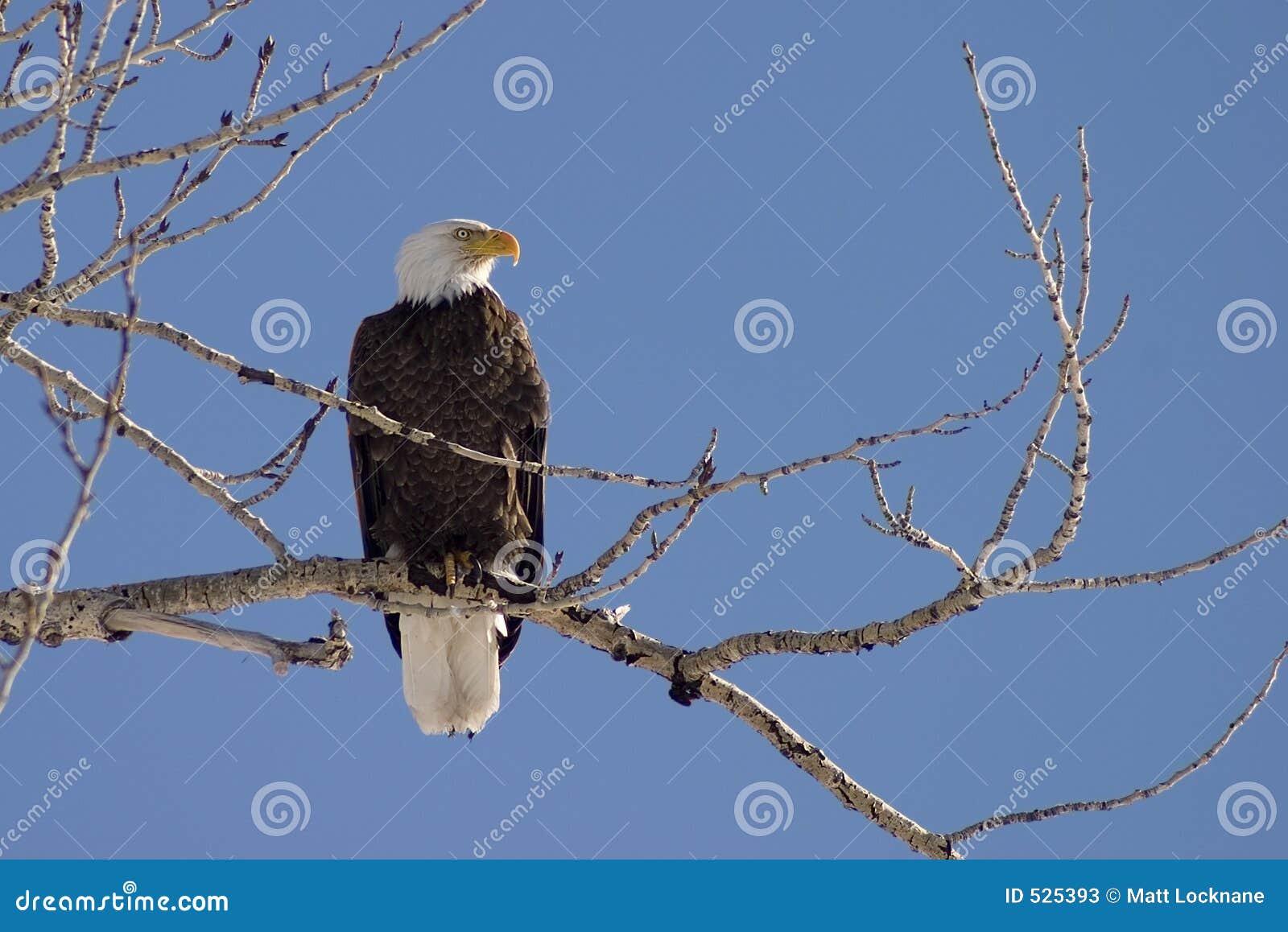 Perfil da águia calva
