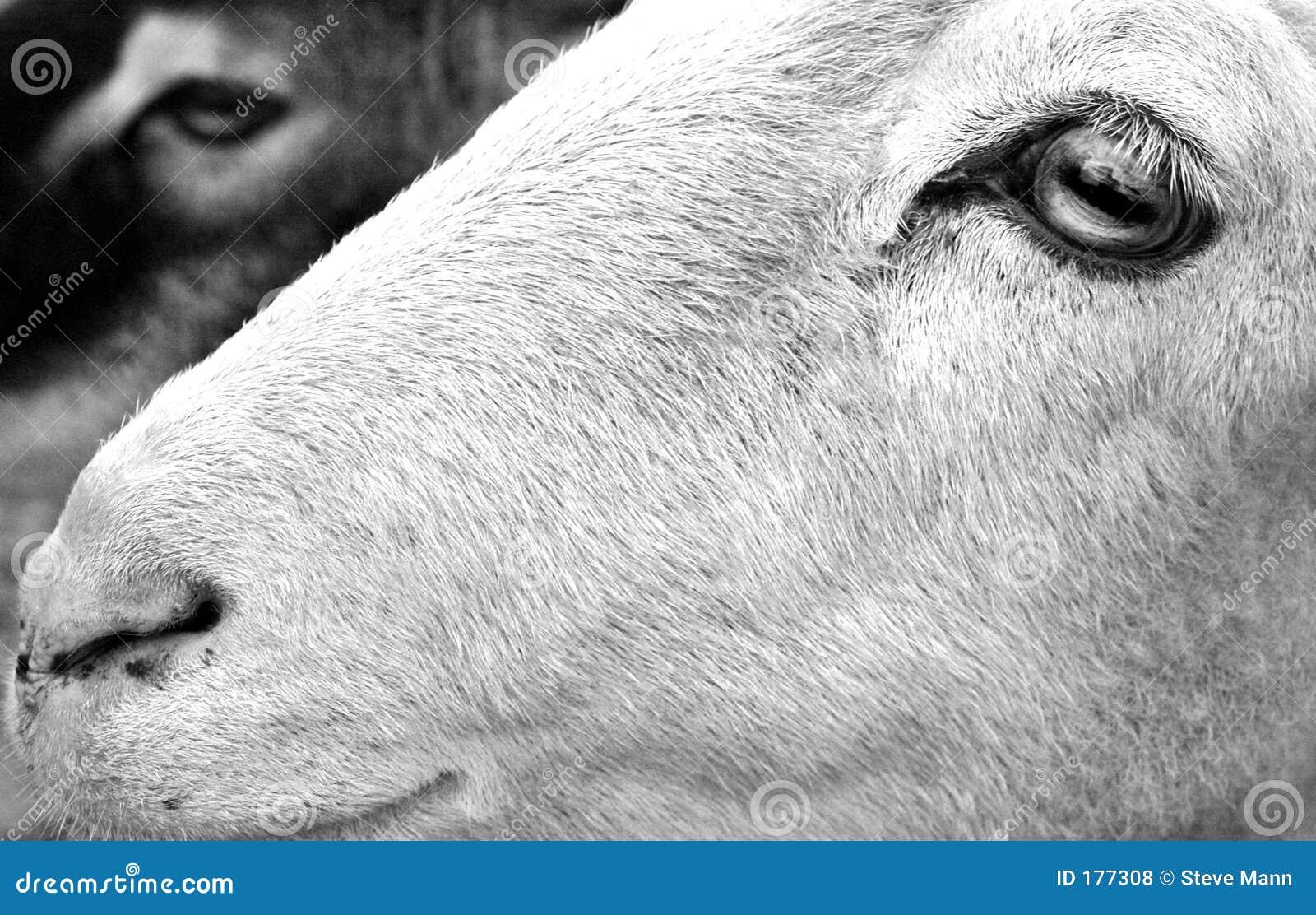 Perfil de la cabra