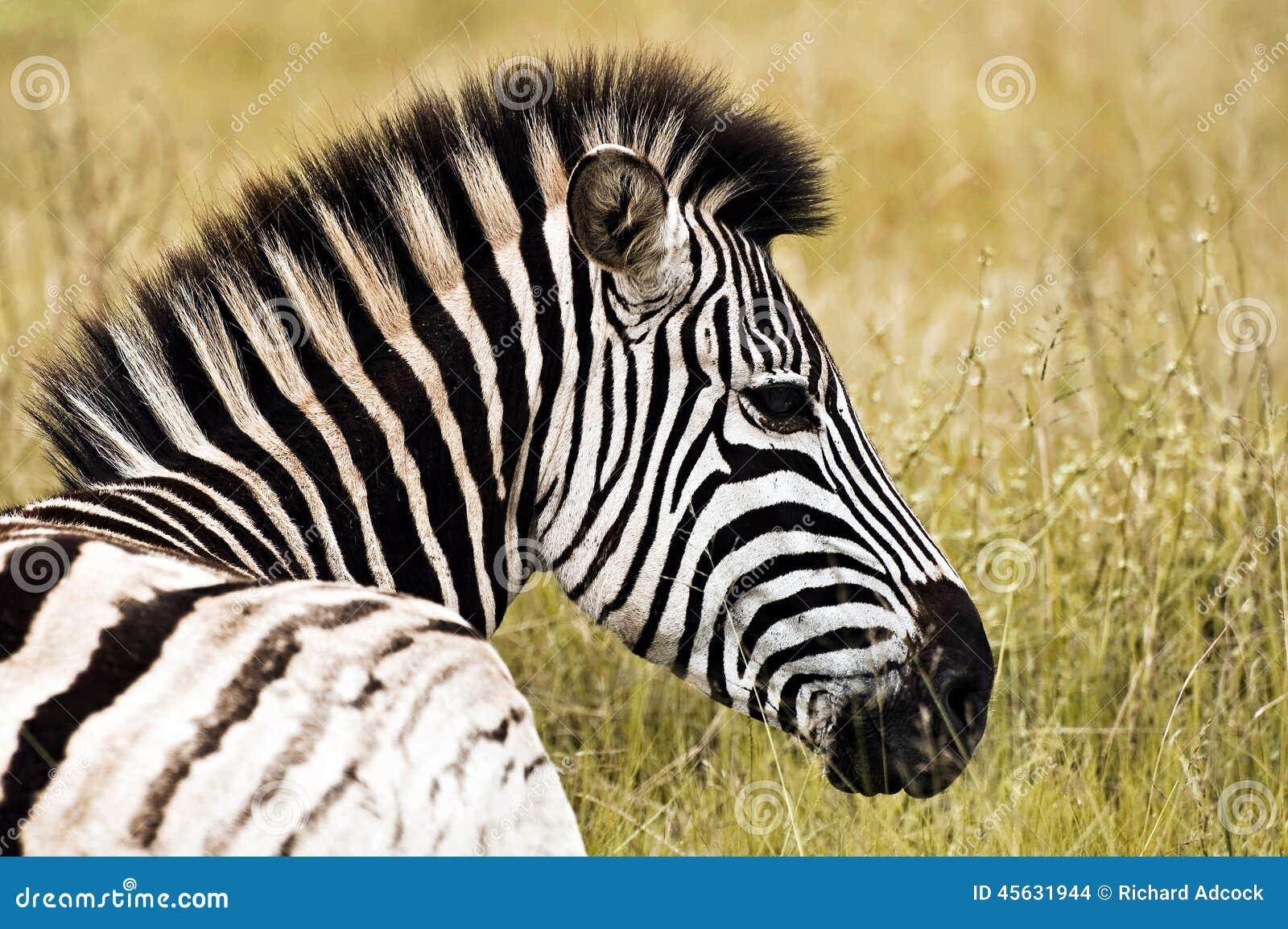 Perfil de la cebra foto de archivo. Imagen de pets, animal - 45631944