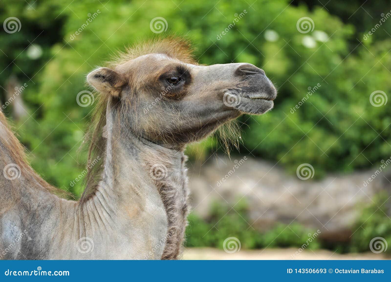 Perfil de un camello melenudo en la vegetación verde