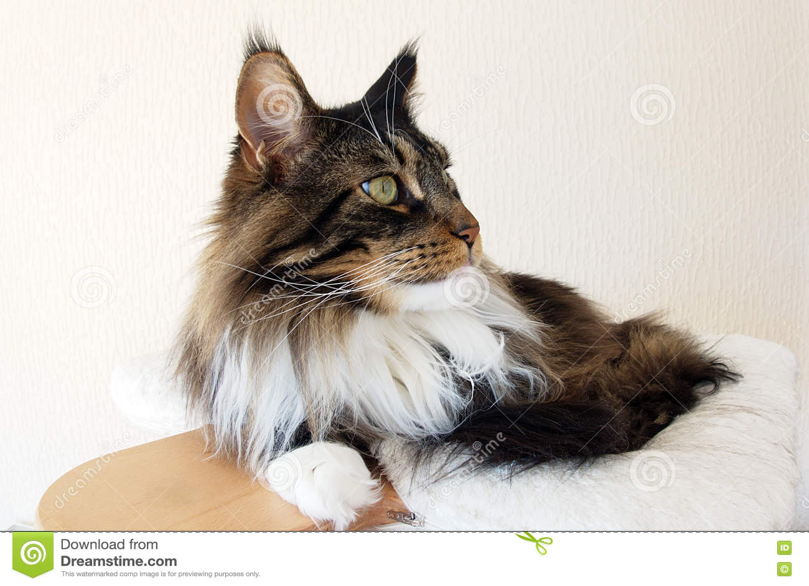 Perfil de un gato atigrado de Brown con el gato blanco de Maine Coon