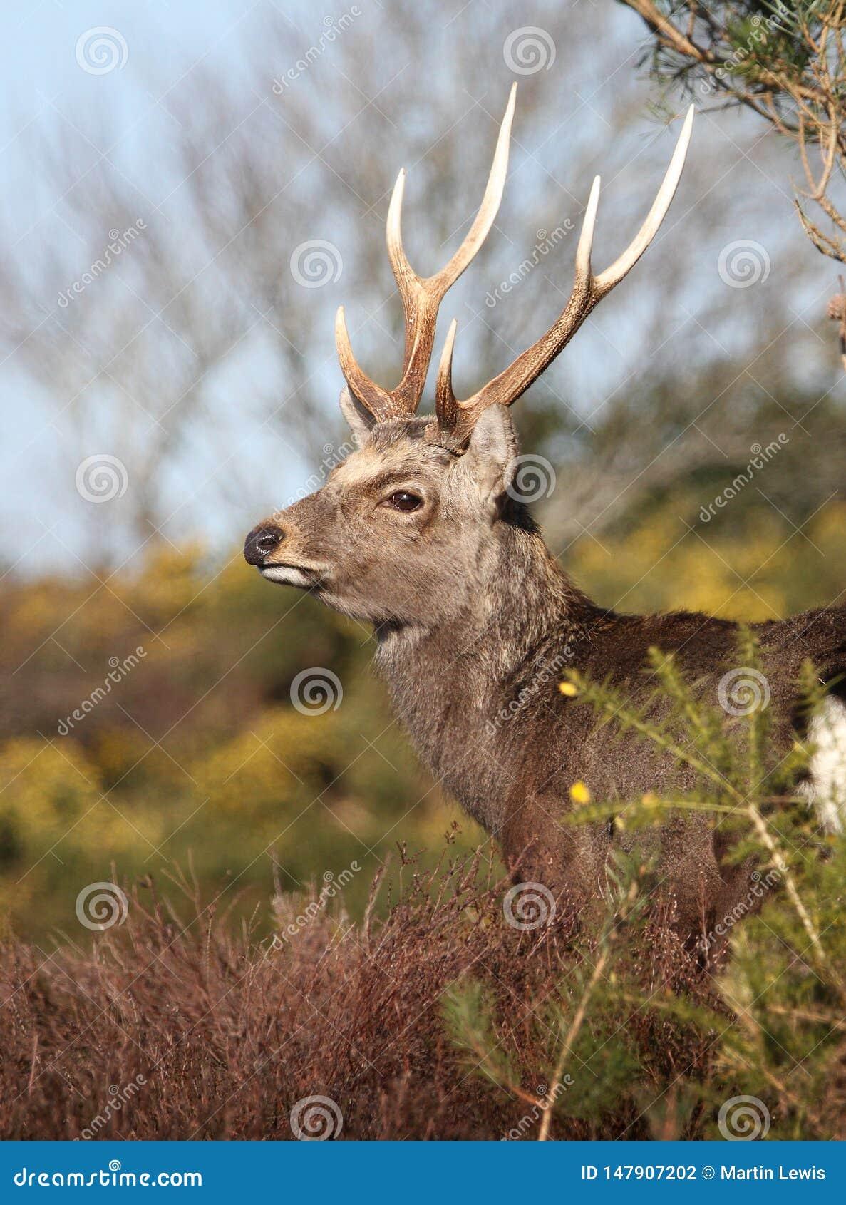 Perfil de un macho de los ciervos de Sika con las astas