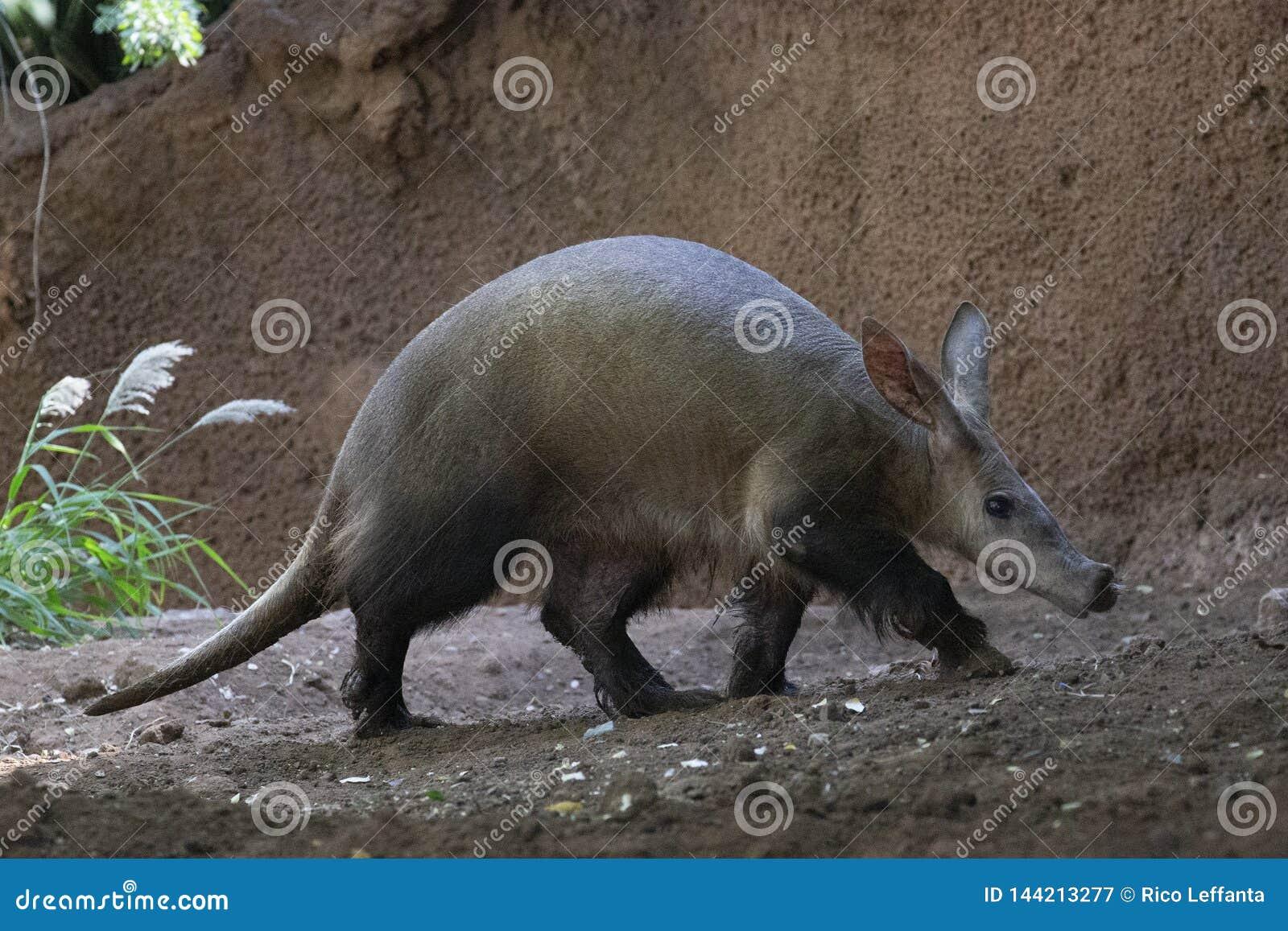 Perfil del vagabundeo del cerdo hormiguero