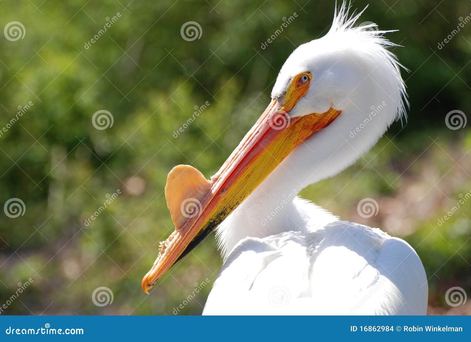 Perfil do pelicano