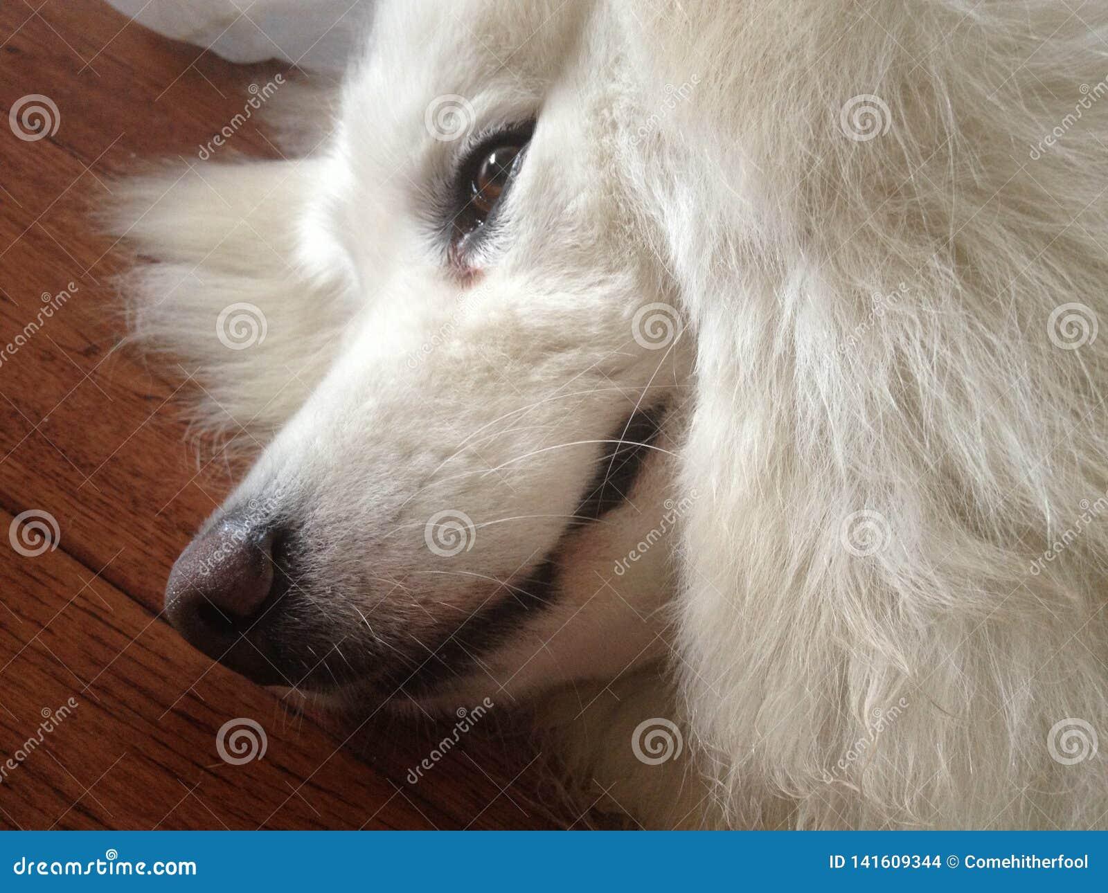 Perfil masculino soñoliento del perro del samoyedo en piso